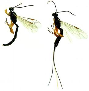 Le dimorphisme sexuel de l'espèce E.comstockii : le mâle est caractérisé par un dard et la femelle par un long ovipositeur (photos prises par Yves Dubuc, utilisé avec autorisation)