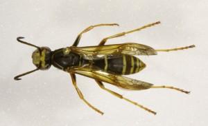 P. fuscatus vu de haut