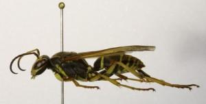 P. fuscatus de profil