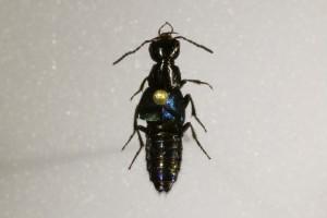 <i>Philonthus cyanipennis</i> (Fabricus 1793)