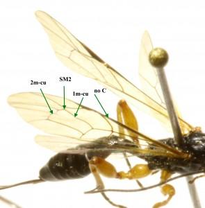 Les nervures de l'aile antérieure de Exeristes comstockii