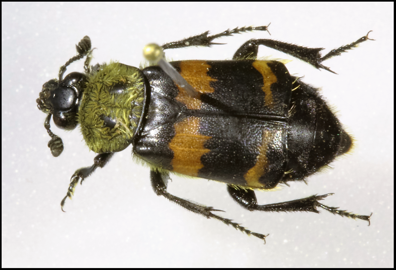 Figure 1 : Nicrophorus tomentosus