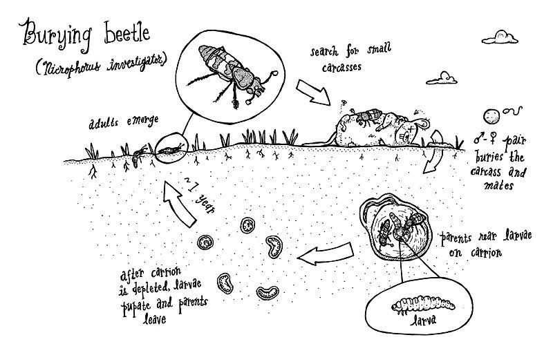 Figure 3 : Cycle de vie similaire à celui de Nicrophorus tomentosus (Meyer, 2015)
