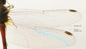 Figure 4 : Emplacement des nervures M2 et Cu1 sur l'aile postérieure de Sympetrum vicinum