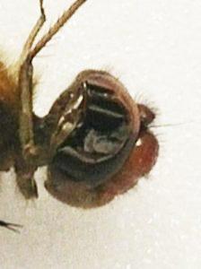 Figure 5 : Photographie de la tête de Sympetrum vicinum
