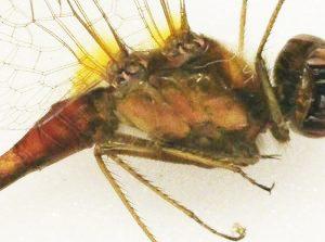Figure 6 : Photographie du thorax de Sympetrum vicinum