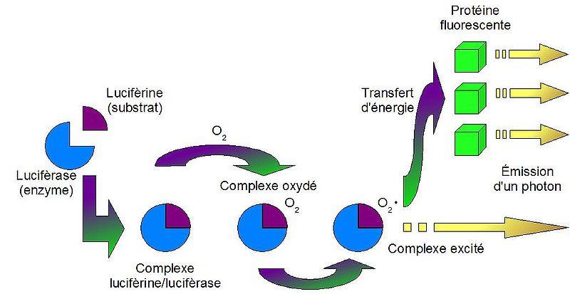 Source : http://tpe-bioluminescence.e-monsite.com/pages/1-a-reaction-entre-luciferine-et-luciferase.html