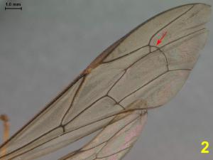 Figure 5. Areole présente sur l'aile antérieure