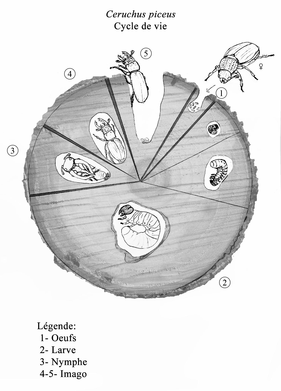 Figure 8 : Cycle de vie de Ceruchus piceus.