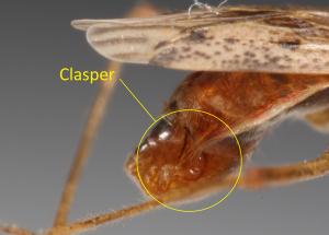 clasper_n-roseipennis