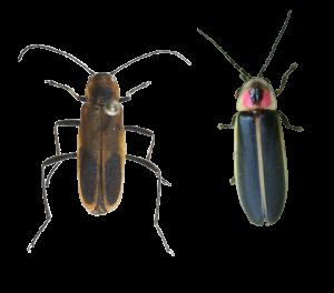firefly-vs-chauliognathys